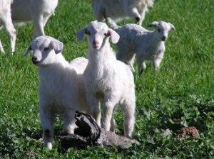 Cashmere Goat Kids