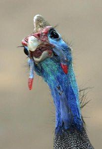Guinea Fowl Face