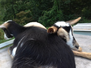 Olive and Acorn, the Nigerian Dwarf Goats, Hug