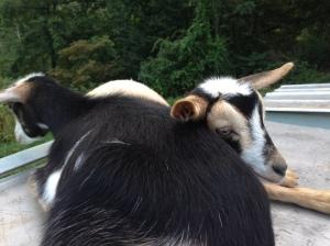Olive and Acorn, the Nigerian Dwarf Goats, Hug