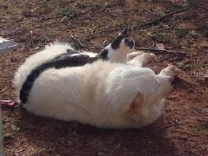 A kitten naps on a Great Pyrenees