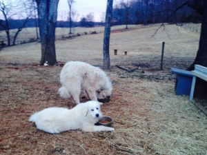 Bella and Boone, our Great Pyrenees