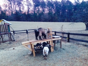 Goat Feeding Stanchion